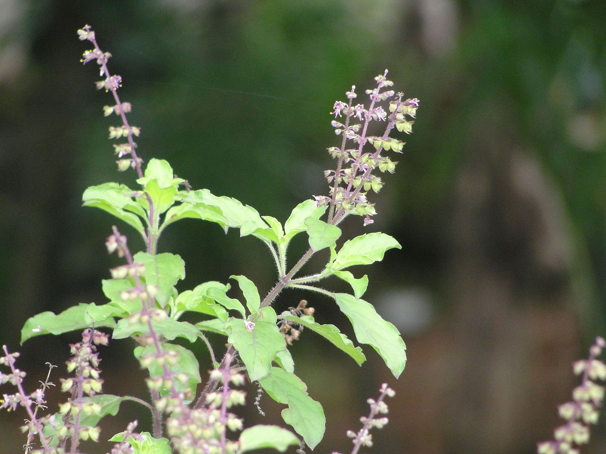 Top 5 best Tulsi Drops in India in 2021